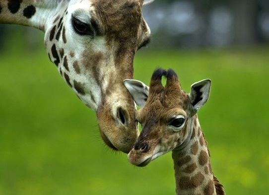 Two girafes cute