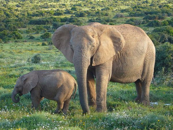 African-Bush-Elephant-with-her-Young