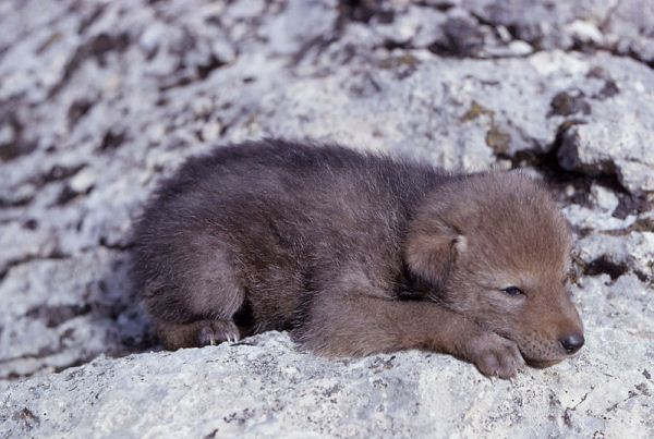Coyote-Pup