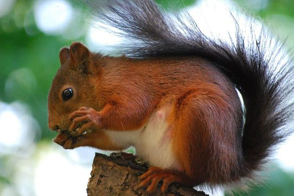 Red-Squirrel-Sciurus-Vulgaris