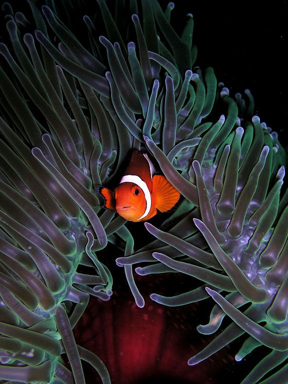 Clownfish with Sea Anemone