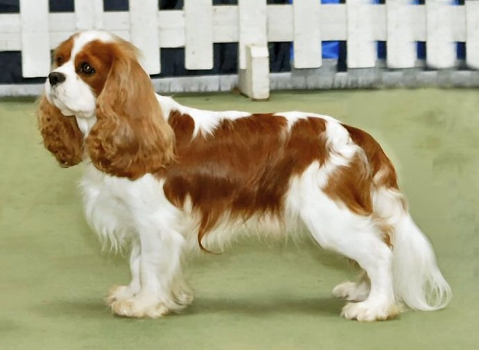 Cavalier King Charles Spaniel. Photo by Andrew Eatock. License: CC BY-SA 3.0.