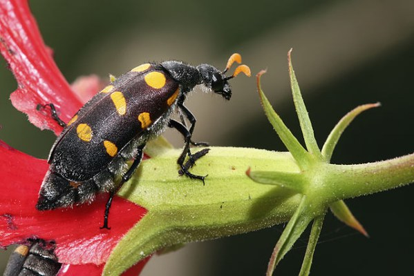 Blister Beetle. Photo by Muhammad Mahdi Karim. License: GFDL 1.2.