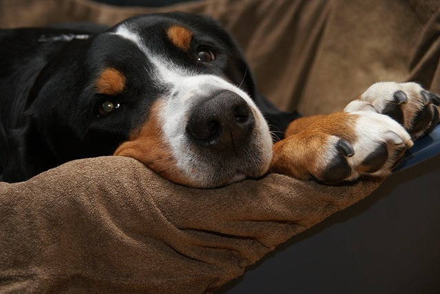 Schweizer Sennenhund Swiss Mountain Dog
