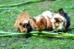 20 Fascinating Facts About Guinea Pigs